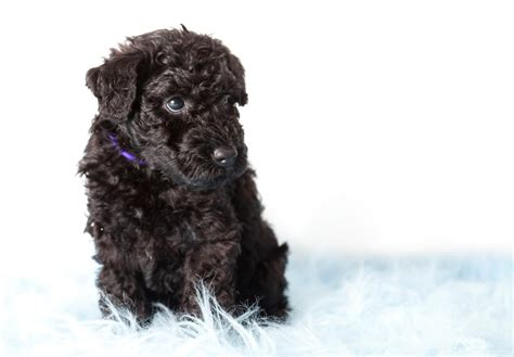 kerry blue terrier puppies for sale kerry blue terrier puppies for sale akc puppyfinder