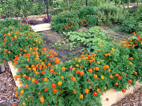 marigolds for the garden avant garden recipes