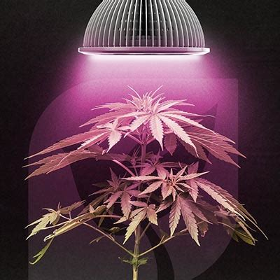 Jual Lu Led Grow Light how to use led grow lights for growing cannabis