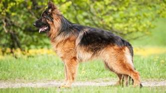german shepherd shedding how bad is it barking royalty