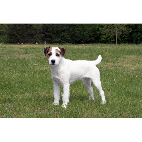 Parson Terrier Shedding by Parson Terrier Breeds