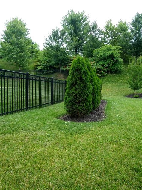 trees will arborvitae regrow to their usual shape after