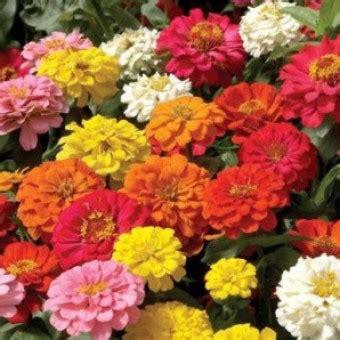10 Benih Biji Bunga Zinnia Carpet bibit bunga zinnia dahlia
