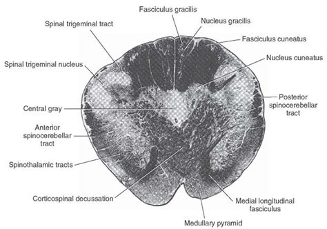 Medulla Cross Section by Brainstem I The Medulla Organization Of The Central