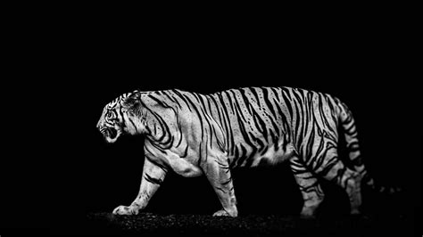black and white ultra hd wallpaper dark widescreen tiger wallpapers 37 wallpapers hd