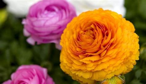 fiori con bulbo bulbi e fiori bulbi bulbi e fiori giardino