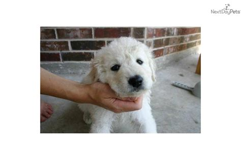 kuvasz puppies for sale kuvasz puppy for sale near texoma 0a07a078 9fc1