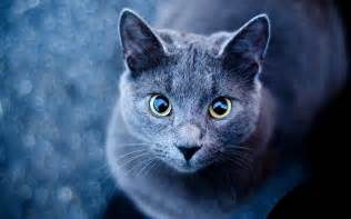 blue cat green eyes wallpapers blue cat green eyes stock photos