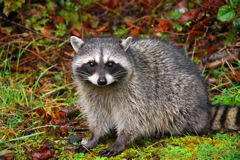 What To Do If A Raccoon Is In Your Backyard by Raccoon Information And Facts Wildlife Busters