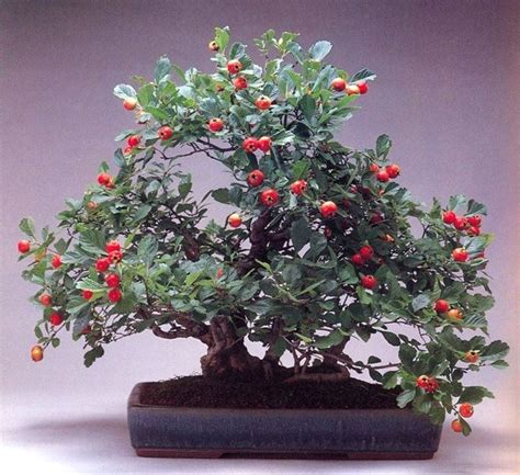 vasi per bonsai vendita mercatino bonsai forum attrezzi e vasi per bonsai