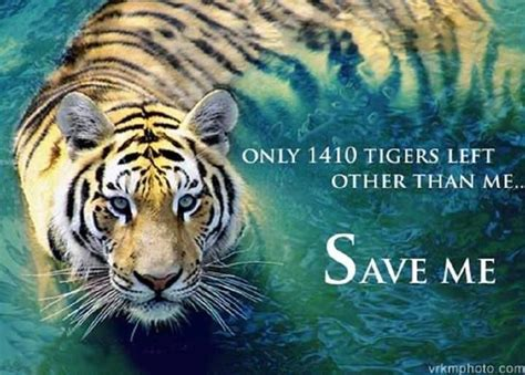 tiger biography in english 63 best save the tigers images on pinterest big cats