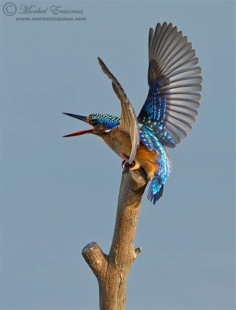 aggro malachite kingfisher by morkel erasmus on 500px