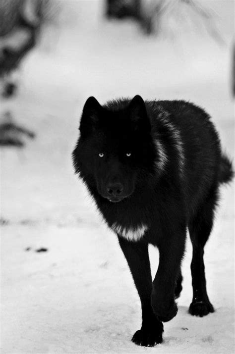 Wolf L by Black Wolf Can You Be Baby