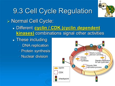chapter 9 section 3 cell cycle regulation study guide chapter 9 section 3 cell cycle regulation study guide