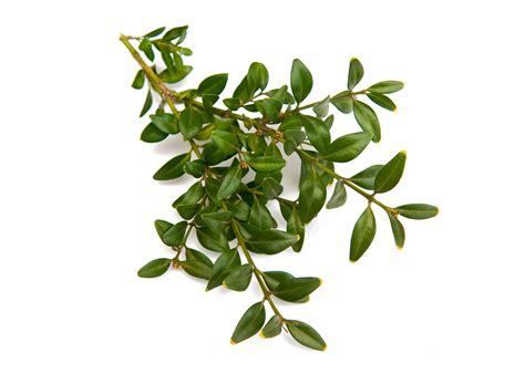 mirto pianta in vaso pianta di mirto sardo tarentino per siepi myrtus in vaso