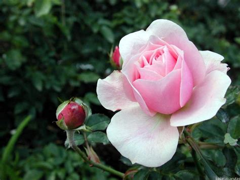 imagenes a rosas la historia de la semana