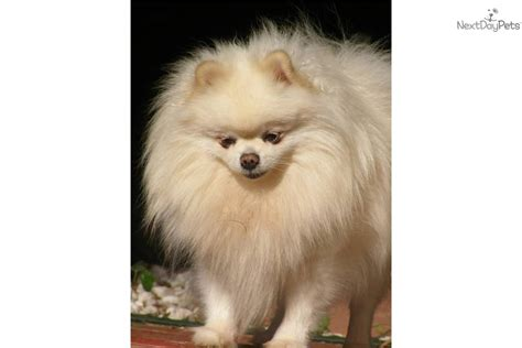 pomeranians for sale in ma pomeranian puppies for sale pomeranian puppies for sale in ny breeds picture