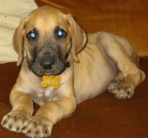 how much do great dane puppies cost fawn great dane pictures png 1 comment