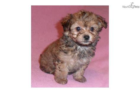 baby yorkie poo yorkiepoo yorkie poo puppy for sale near akron canton ohio b4d4fbdd d291
