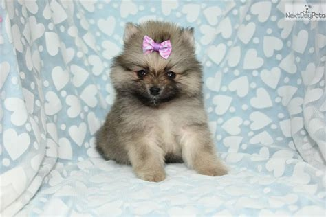 teacup pomeranian puppies california pomeranian puppy for sale near los angeles california