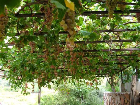 Grape Garden by Grape Vines Tilford Cottage Garden