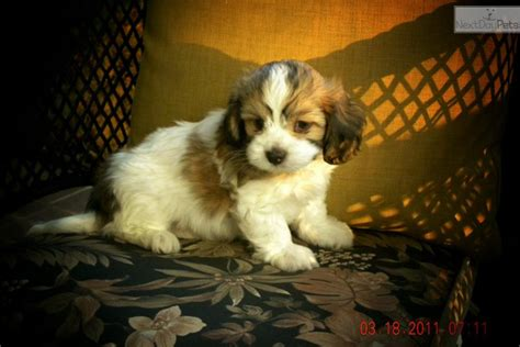havanese mix puppies for sale near me cavanese puppy for sale near boone carolina 92ac99db 4531