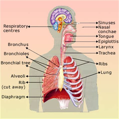Where are your lungs located in your diagram 28 images where are where are your lungs located in your diagram lungs ccuart