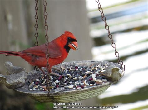 landscaping to attract cardinals garden org