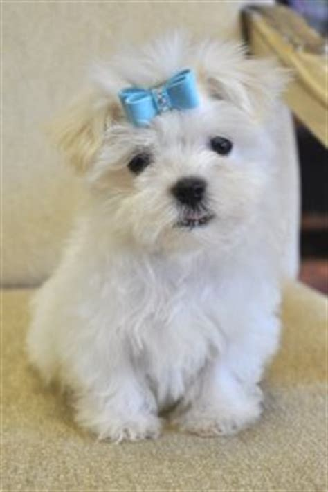 havanese puppies florida for sale teacup and havanese puppies for sale in florida s closet doggies