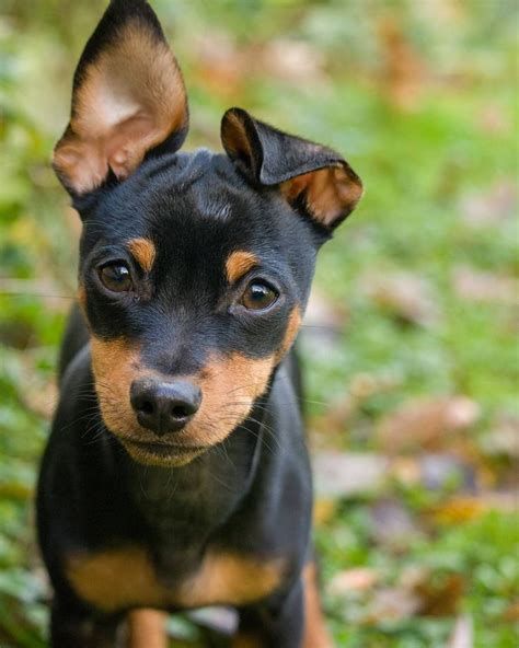 mini pinscher 25 b 228 sta mini pinscher id 233 erna p 229 min pins dobermann och doberman puppies
