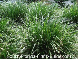 florida gamagrass tripsacum floridanum year