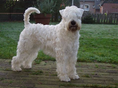 Soft Coated Wheaten Terrier Shedding by Soft Coated Wheaten Terrier Wheaten Volunteer 180 S Zwingerstory Wheatens
