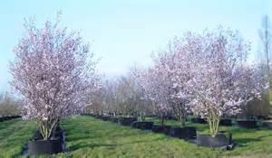 prunus cerasifera nigra black cherry plum