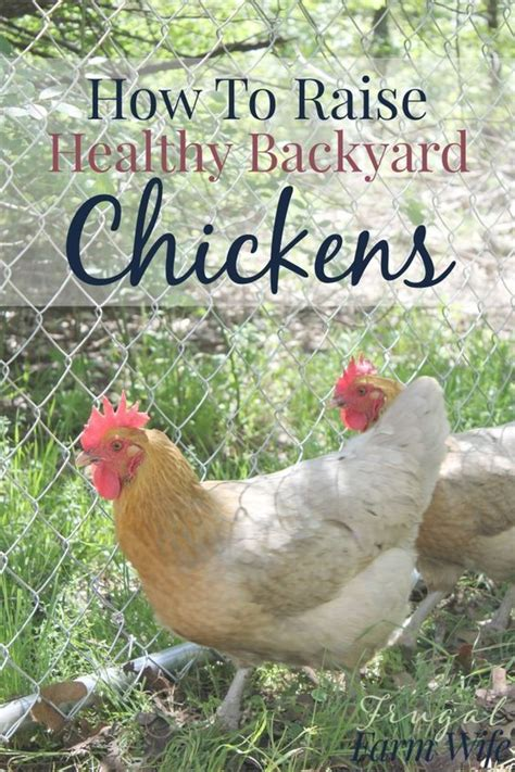 raise chicken in backyard how to raise healthy chickens in your backyard backyards