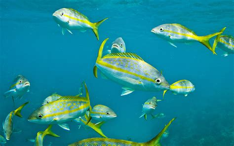 yellowtail snapper fishes picture  desktop wallpaper hd