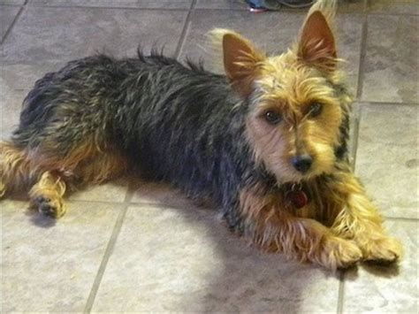 list of yorkie mix breeds australian terrier breed information