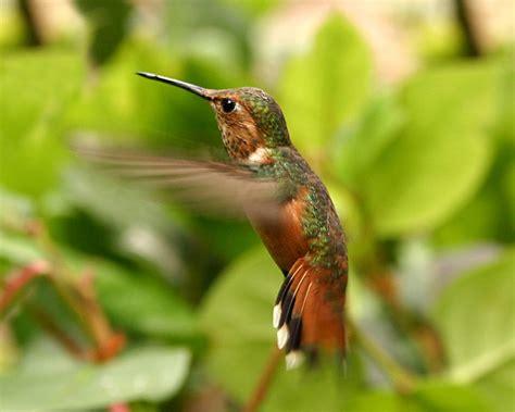 hummingbird facts classyshots photography