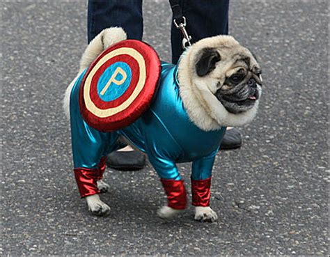 pug in superman costume pugs dressed as characters for