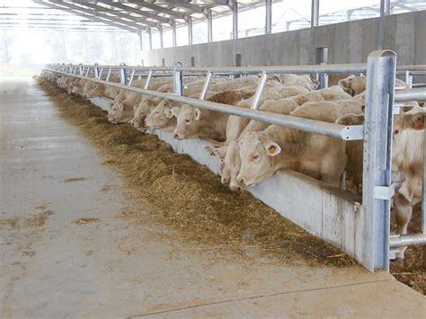 alimentazione bovini alimentazione dei bovini da carne il ristallo il