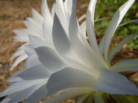 Plante Grasse A Fleur Blanche by Plante Grasse Avec Fleur Blanche La Pilounette