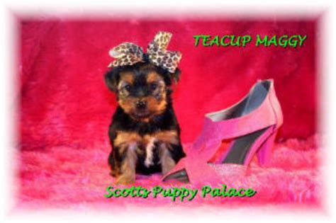 yorkie puppies for sale cheap prices yorkie puppies for sale maggy