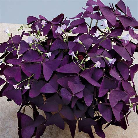 Purple Cover by Purple Shamrock Plant Oxalis Regnellii Francis