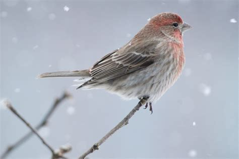 Color Of The Year by How To Tell Apart Purple Finches And House Finches Red
