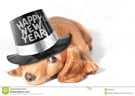 new year january animal dachshund puppy stock image image of
