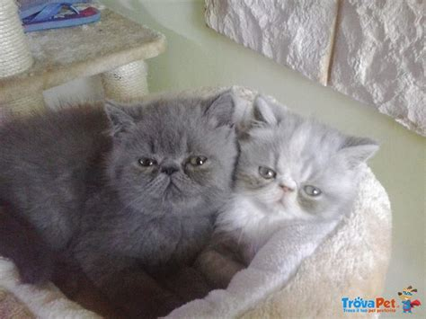 foto gatti persiani cuccioli dolcissimi cuccioli e persiani in vendita a borgo