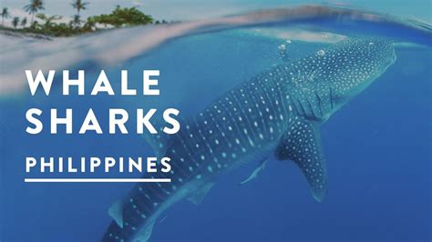 baby shark youtube philippines incredible whale sharks of oslob philippines 2017 cebu