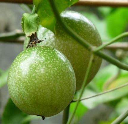 Jual Bibit Buah Markisa benih markisa hijau