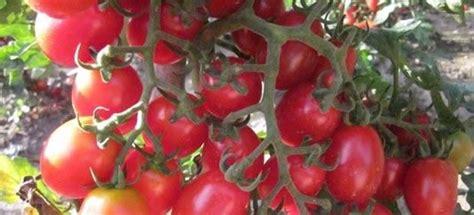pomodori datterini in vaso vendita piantine di pomodoro datterino vaso 10