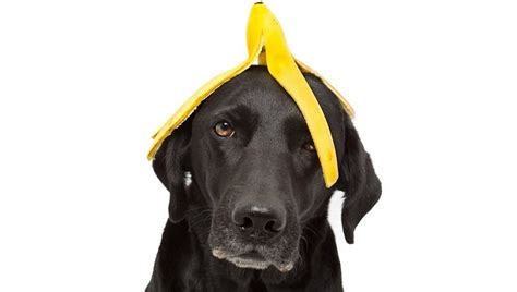 are bananas bad for dogs can dogs eat bananas dogtime