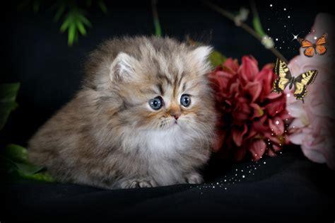 Golden Chinchilla Teacup Rug Hugger Kitten For Saleultra Rug Hugger Kittens